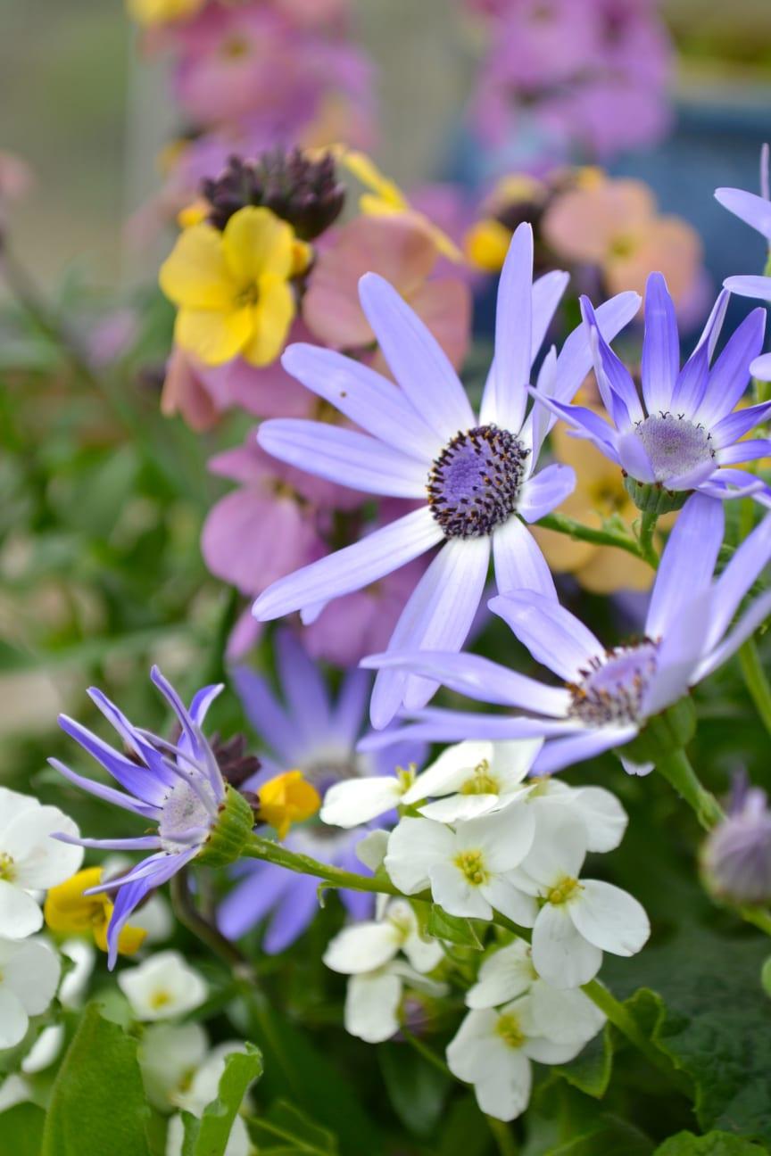 Vårväxter - gyllenlack, fagertrav Alabaster och cineraria i skön kombo