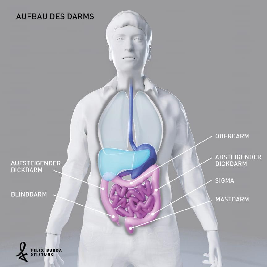 Blick in den Körper: Aufbau des Darms
