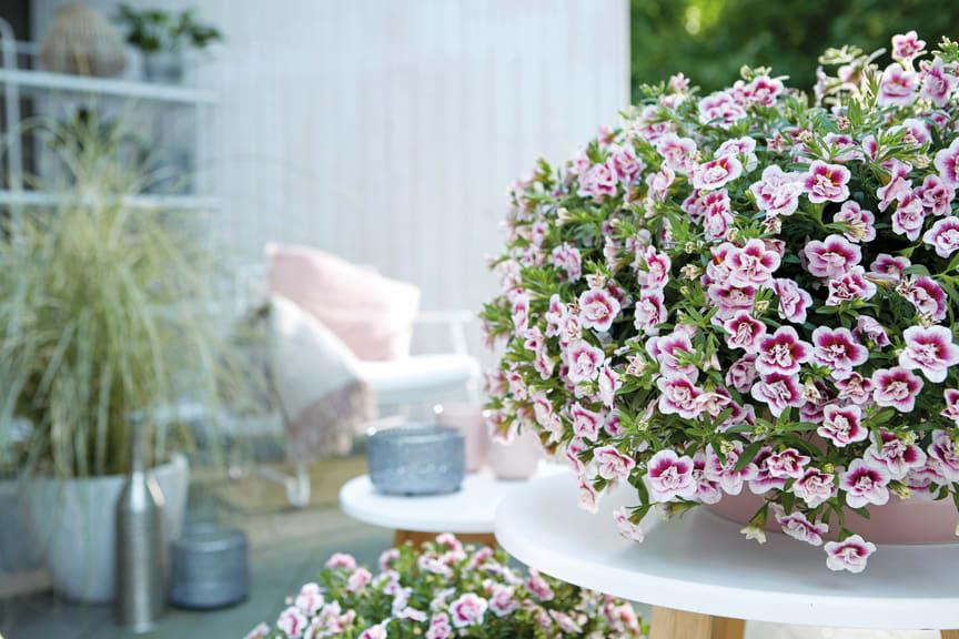 Småpetunian Double PinkTastic, Calibrachoa MiniFamous® Double PinkTastic
