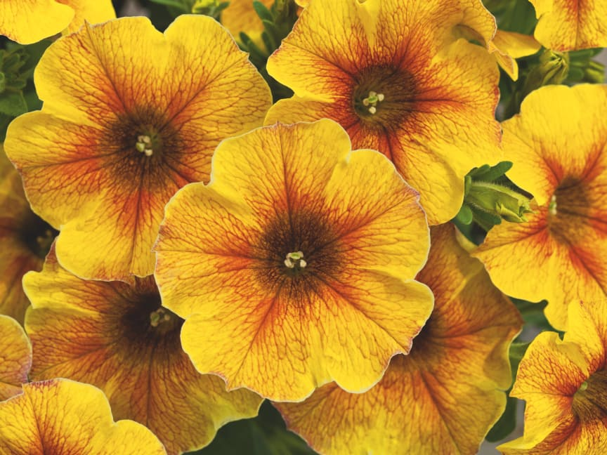 Petchoa x hybrida BeautiCal Caramel Yellow