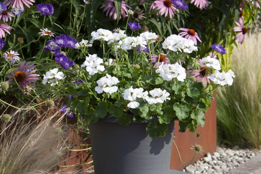 Pelargonium Marcada White
