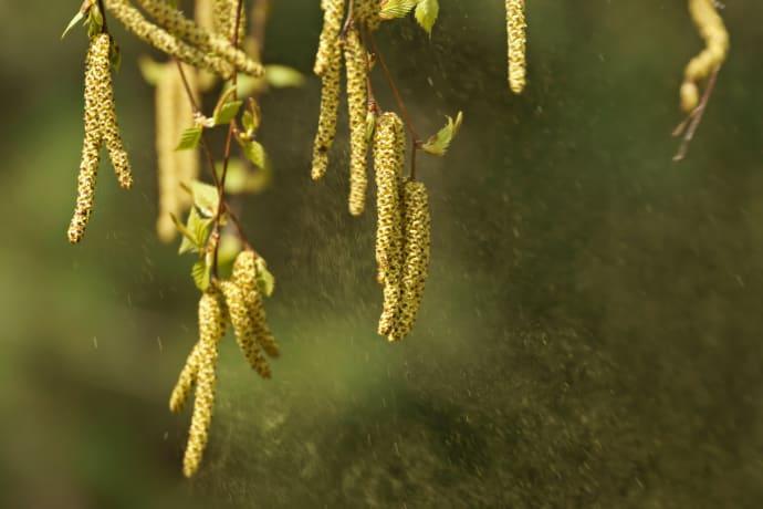 linser vid pollenallergi