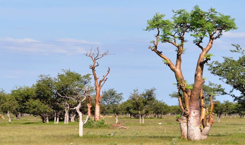moringa träd i sverige