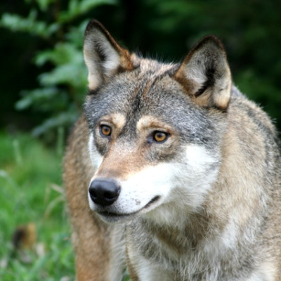 Kamp om virkeligheten i rettsak om norsk ulveforvaltning