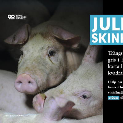 Djurens Rätt launches major pig campaign this Christmas