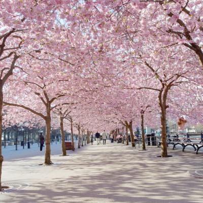 Se kirsebærtrærne blomstre!