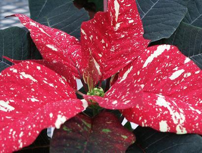 Unik sortvisning av framtidens julstjärnor på Brunnsvikens Trädgård