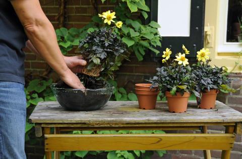 Samplantering av mörkbladig dahlia - steg 2