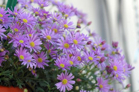 Månadens blomma – maj 2012