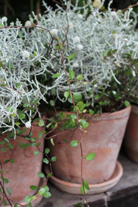Silvergirland, Leucophyta brownii och plättar i luften, Muehlenbeckia
