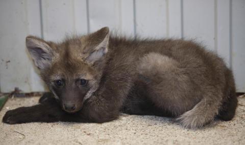 Långbent varg får ungar i Parken Zoo