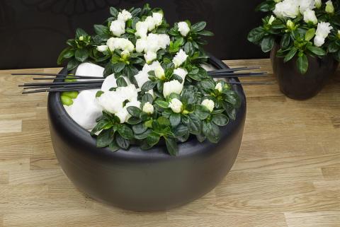 Azalea i låg skål