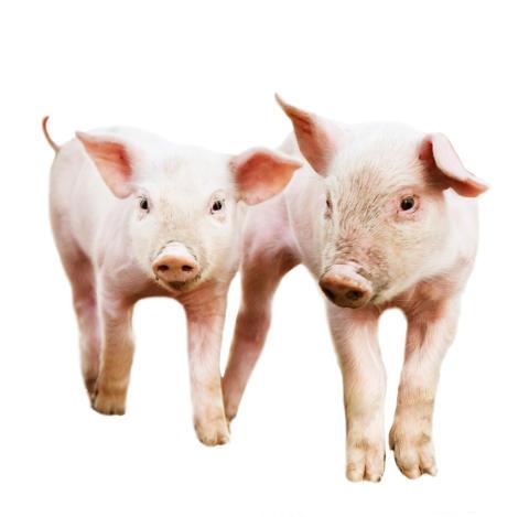 Ge bort grisar som julklapp