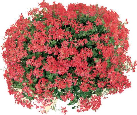 Röd Minicascade