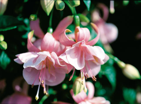 Fuchsia Pink Gallore