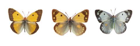 DNA-analys visar hur fjärilar kan byta färgprakt mot fruktsamhet