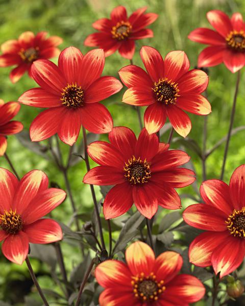 Dahlia 'Dahlegria Bicolore'