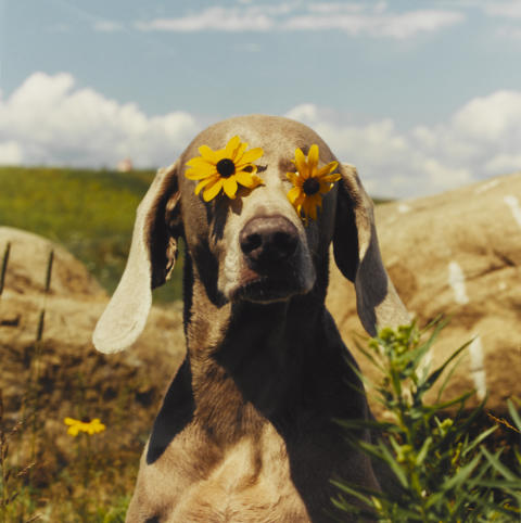 UTSTÄLLNING: WILLIAM WEGMAN - HELLO NATURE. HOW TO DRAW, PAINT, COOK AND FIND YOUR WAY
