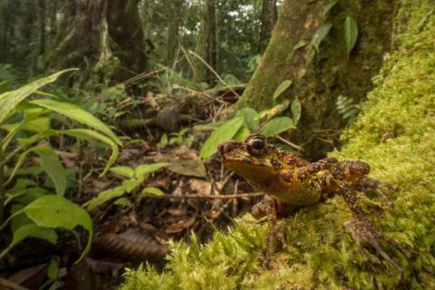 Sjælden tudse fra Borneo genopdaget efter 87 år