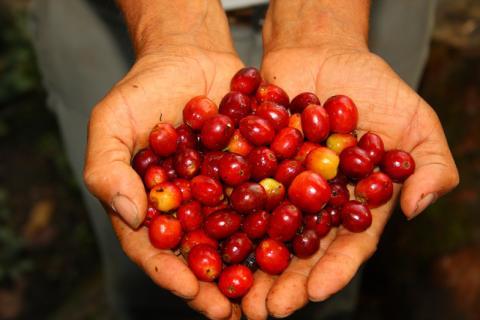 Rainforest Alliances uttalande om rådande låga kaffepriser