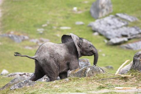 Elefantkalven på Borås Djurpark har namngivits