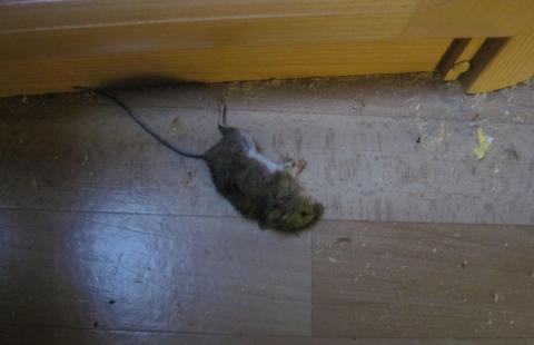 Forspist mus