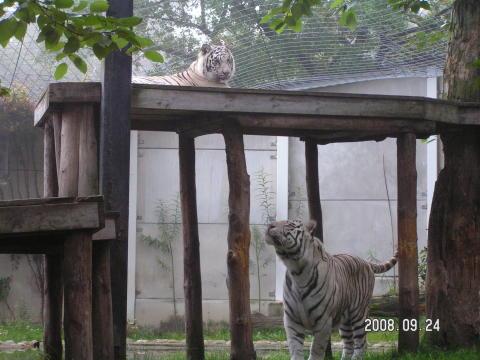Vita tigerhonan Sasha återförenad med hanen Brahma