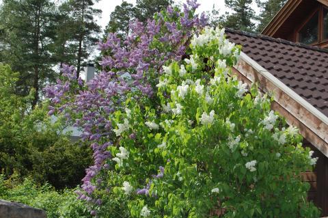 Hva betyr det at en plante er invaderende, svartelistet eller uønsket?