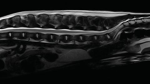 Dog Spine - T2W FSE SAG HR