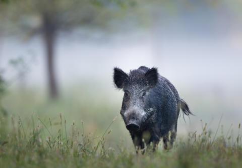 Regeringen og DF's grænsehegn mod vildsvin er ren symbolpolitik