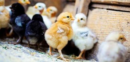 Titania skänker kycklingar till Burkina Faso