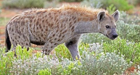 Förhistoriska hyenor och människor hade samma spridningsmönster