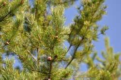 Mer död ved i skogen enligt Riksskogstaxeringen vid SLU