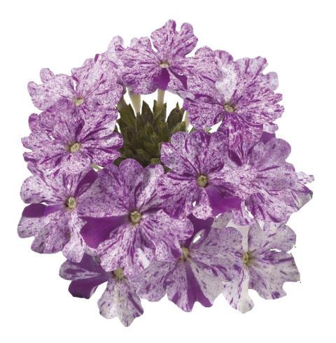 Verbena Donalena Twinkle 'Purple'