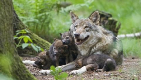 EXPERT COMMENT – Have hopes of coexistence ended as Belgium's first wolf in 100 years is presumed dead