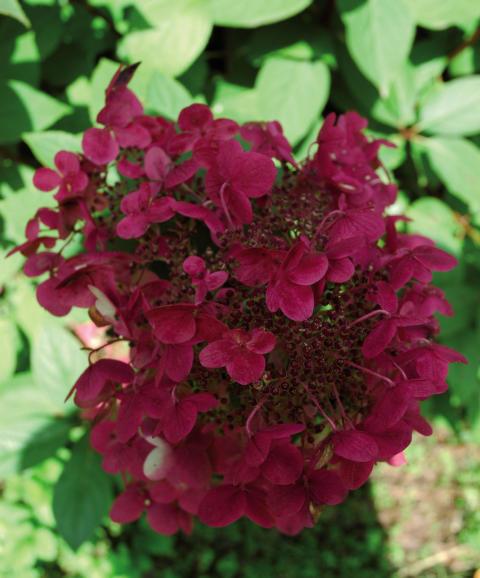 Hortensia, Hydrangea Wim's Red®