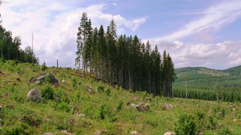 Sparade trädgrupper på hyggen räddar många arter