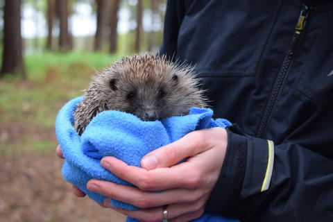 Center Parcs Woburn Forest becomes new home for rescued hedgehogs