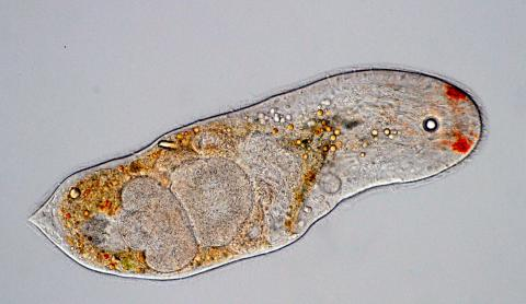 Notocelis gullmarensis