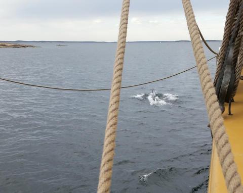 Delfin utanför Västervik. Siktad från briggen Tre Kronor af Stockholm 2
