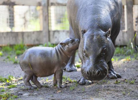 Dvärgflodhästungen Olivia med mamma Krakunia