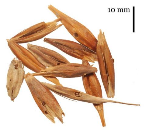 Arkeologiska frön från Kanarieöarna