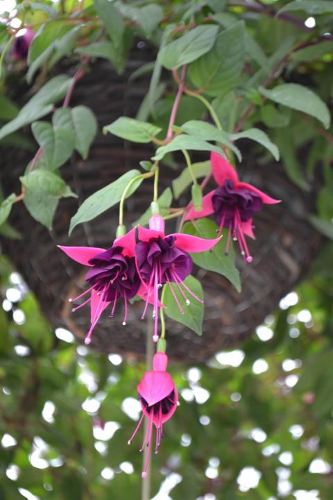Fuchsia i ampel på håll