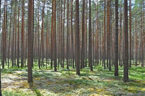 Anpassning till förändrat klimat gynnar skogsbruket