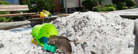 Sådan slipper du for rotter om sommeren