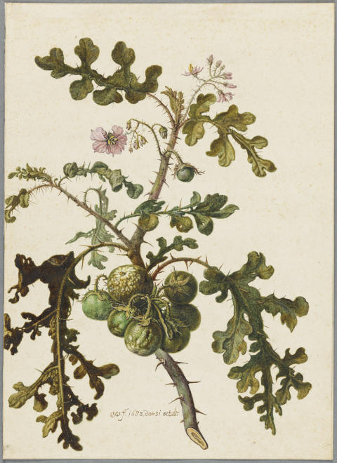 New Acquisition: A Botanical Study by Herman Saftleven