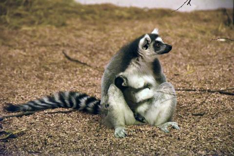 Lemurbebis född på Kungsbyn Djurpark