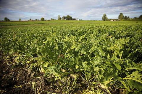 Sockerbetsfält i Skåne
