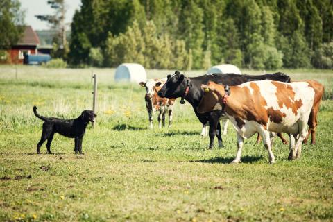 Tikan luomutilan koira ja lehmät sulassa sovussa