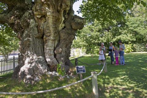 Sockerdricksträdet Astrid Lindgrens Näs
